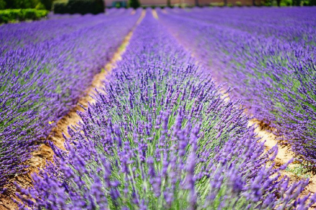 Champs de lavandes Provence Lavender fields Finding France